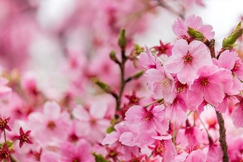卒業式の桜