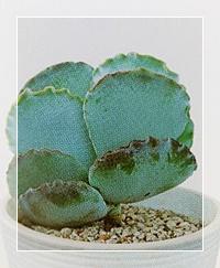 多肉植物(銀波錦)