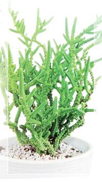 多肉植物セレクション1若緑