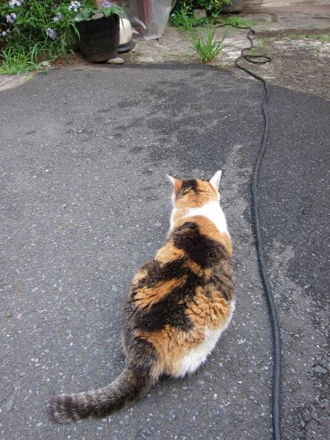 猫の後ろ姿しっぽ