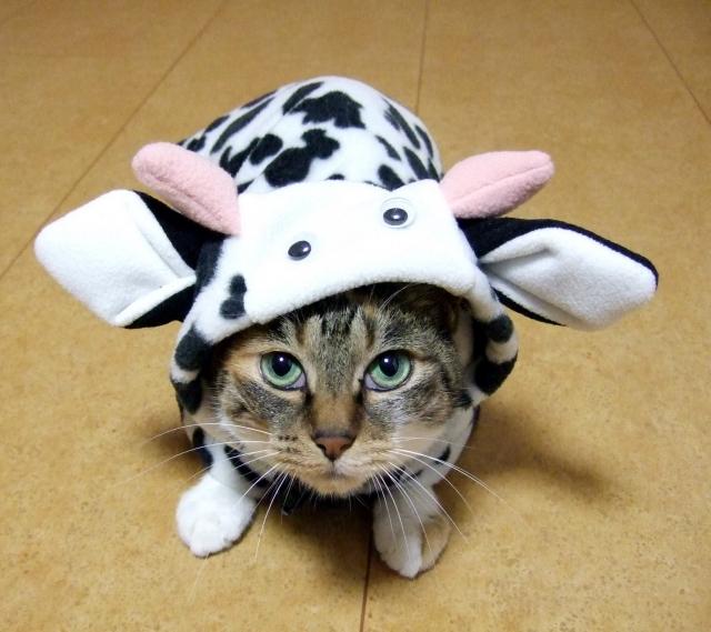 牛柄の洋服を着た猫